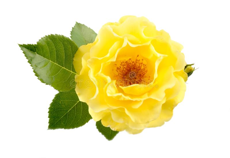 Yellow Rose. Isolated White Background stock photography