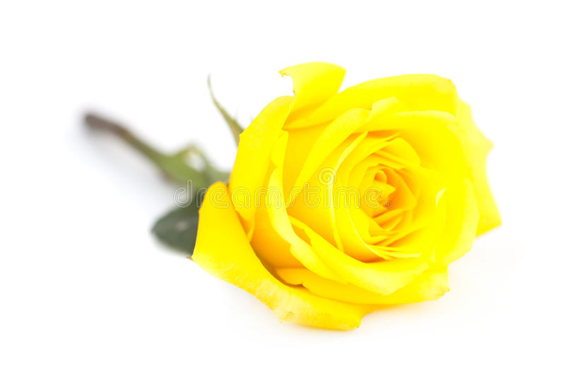 Yellow rose isolated on white stock photography