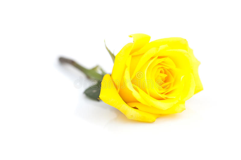 Yellow rose isolated on white stock image