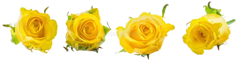 Yellow rose isolated on white background. Yellow rose isolated on white stock images