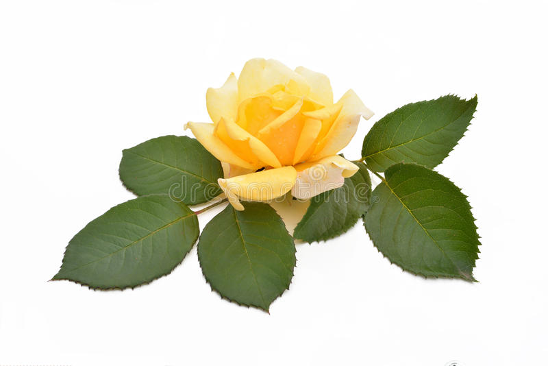 Yellow rose with leaves (Latin name: Rosa). royalty free stock photo
