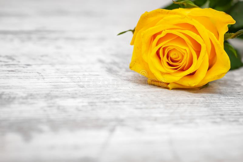 Yellow rose on light background.  royalty free stock photos