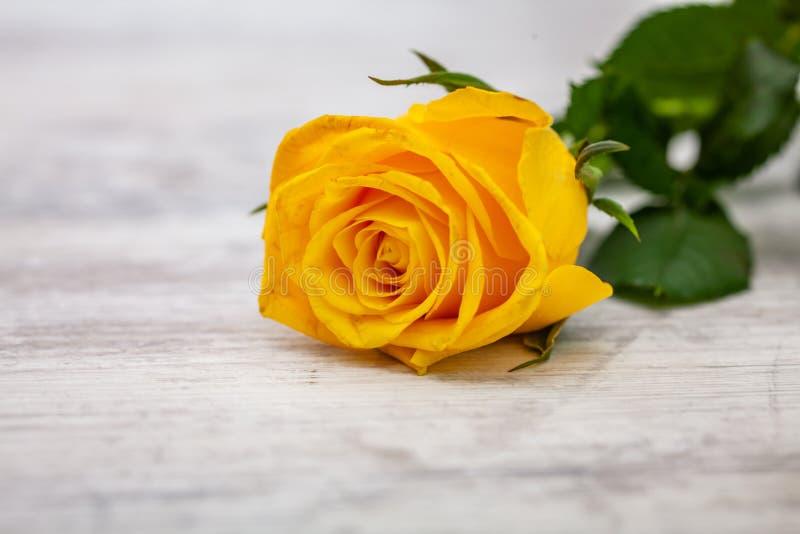 Yellow rose on light background.  stock image