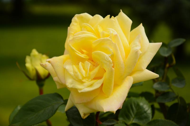 Yellow rose with a little rose bud behind in Spring. Yellow rose with a little bud blossom in Spring in a garden. the picture has 2 major color: yellow and green stock images