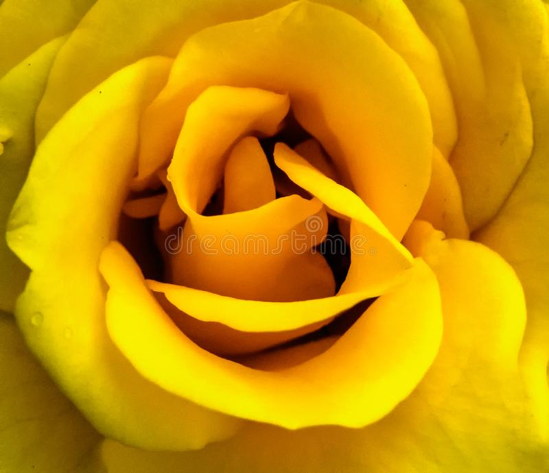 Yellow Rose Macro/Closup with Layers and Folds royalty free stock photo
