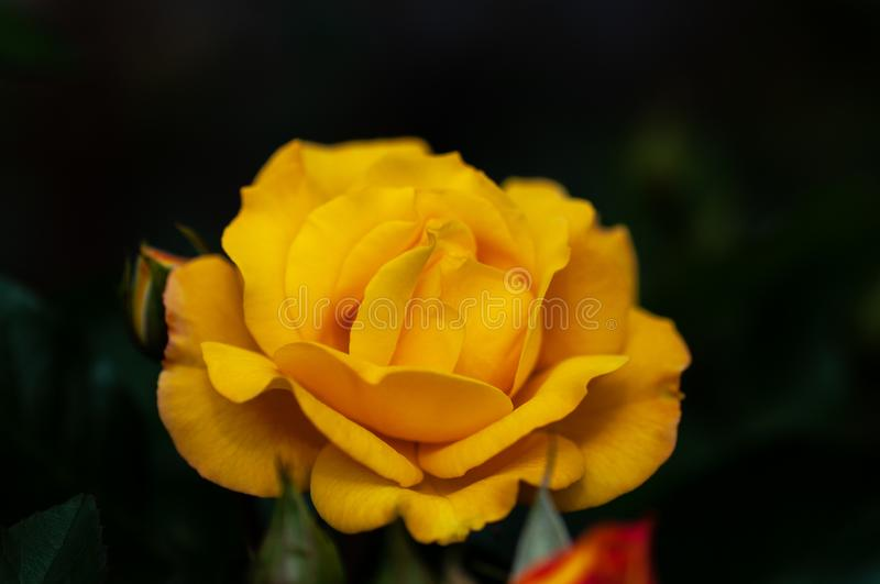 Yellow rose meaning Bright, cheerful and joyful create warm feelings and provide happiness. They bring you and the friendship you. Yellow roses meaning Bright stock images