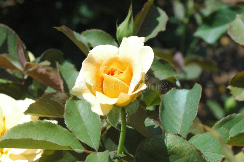 Yellow rose in Mississippi royalty free stock image