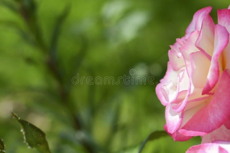 Yellow rose in outdoor garden. Metaphor for gentleness, sophistication, elegance. stock photography