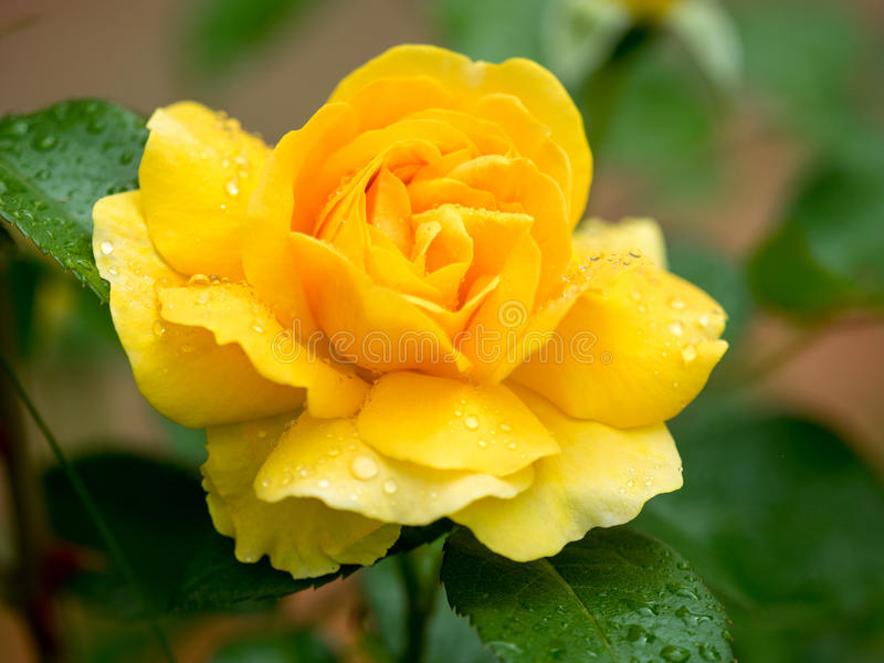Yellow rose after the rain. Yellow rose in a garden, after the rain, covered with raindrops stock image