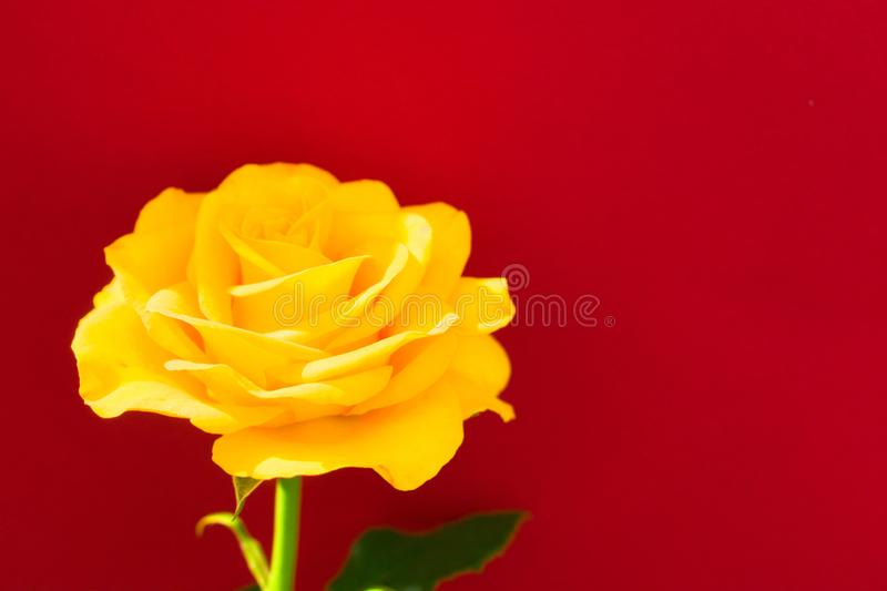 Yellow rose on a red background.Copy space. One yellow rose on a red background.Copy space stock images