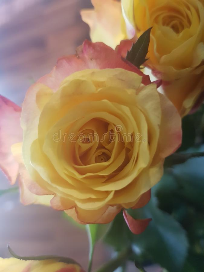 Yellow rose with red shades. Yellow rose  red shades flower flowers roses nature royalty free stock photography
