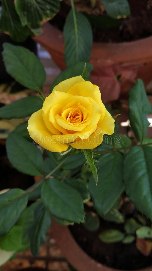 Yellow Rose. S create warm feelings and provide happiness. Giving s can tell someone the joy they bring you and the friendship you share. White roses royalty free stock images