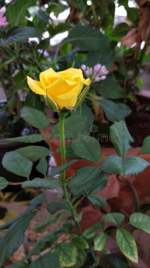 Yellow Rose. S create warm feelings and provide happiness. Giving s can tell someone the joy they bring you and the friendship you share. White roses royalty free stock photo