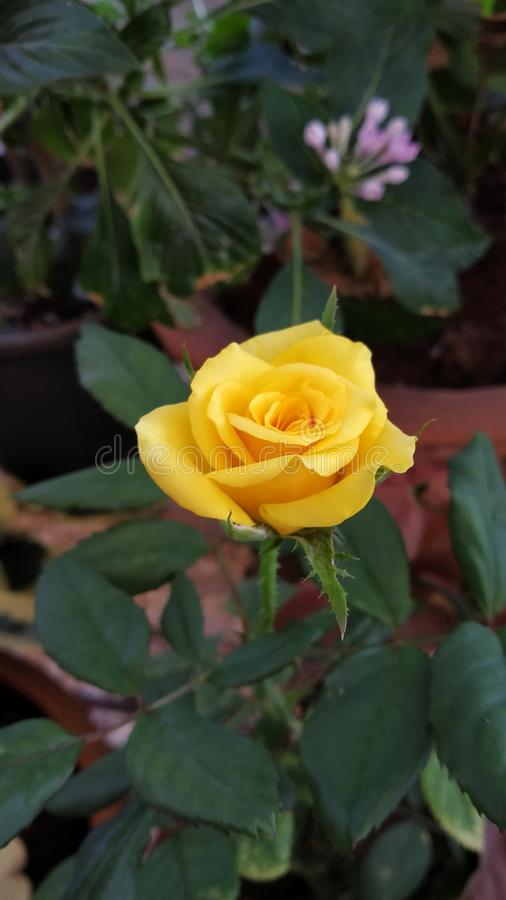 Yellow Rose. S create warm feelings and provide happiness. Giving s can tell someone the joy they bring you and the friendship you share. White roses stock photography