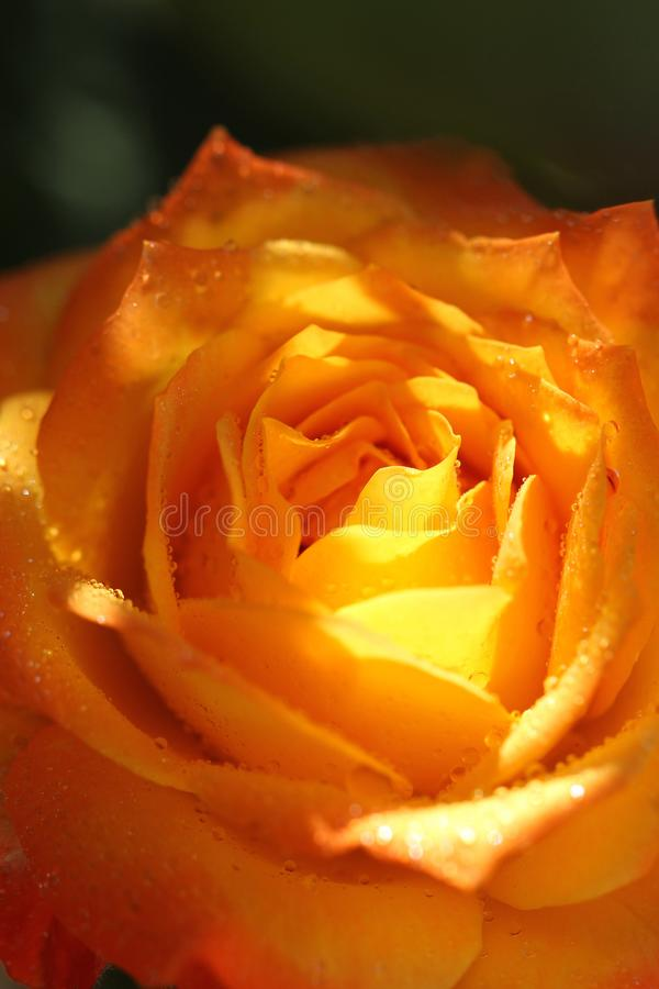 Yellow rose in sunlight. In sunny day in summer on green background stock photo