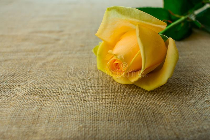 Yellow rose on the tablecloth with natural fabric. One yellow rose on the tablecloth with natural fabric stock images