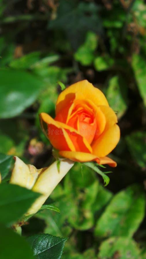 Yellow rose taken in the Arboretum Nottingham UK royalty free stock photos