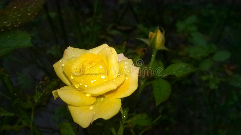 Yellow rose with water drops royalty free stock photo