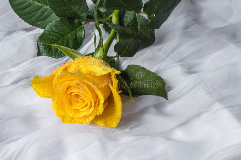 Yellow rose with water drops- fabric background stock photography