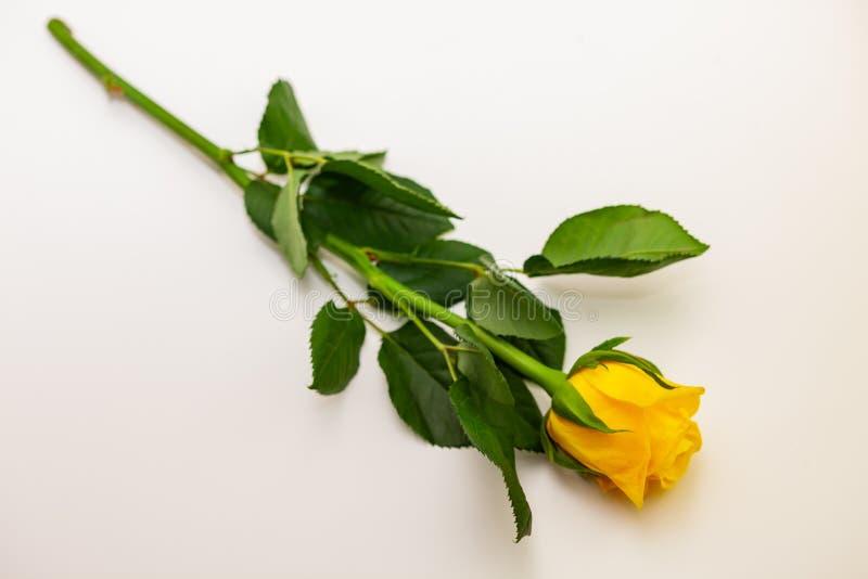 Yellow rose on white background, isolated.  royalty free stock photos