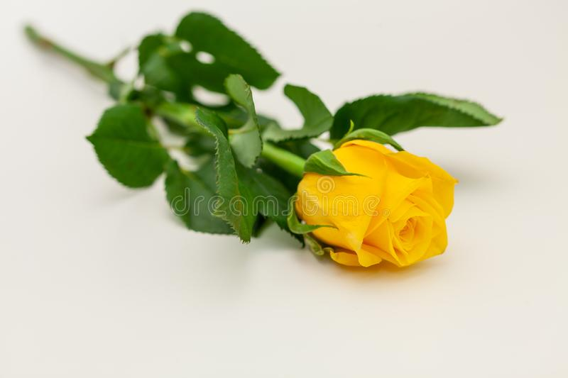 Yellow rose on white background, isolated.  stock photography