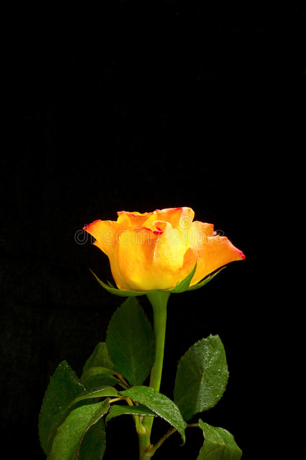Free Yellow Rose With Red Edges Royalty Free Stock Photography - 29094617