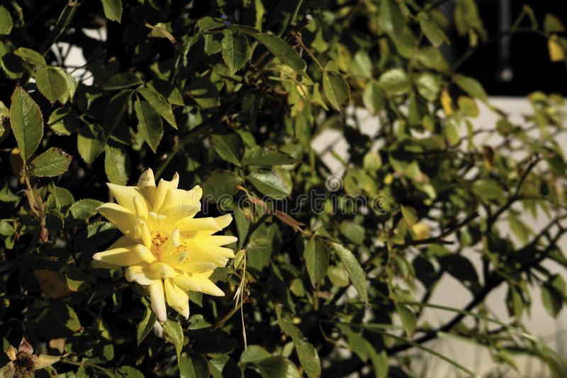 Yellow rose. Withered yellow rose in focus and its leaves out of focus stock image