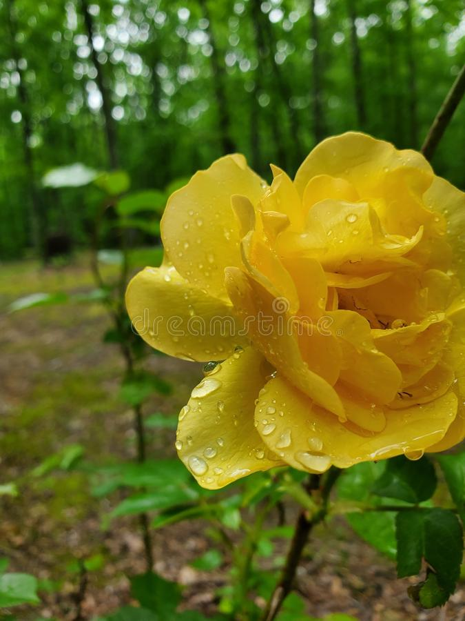 Yellow rose wooded background. Flower royalty free stock image