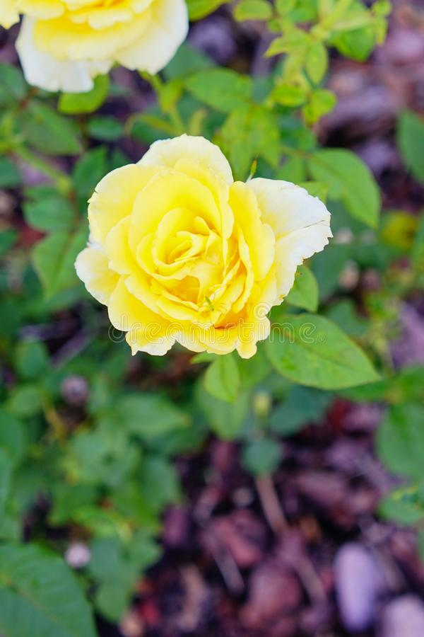 Yellow Rose. With green leaf background stock images