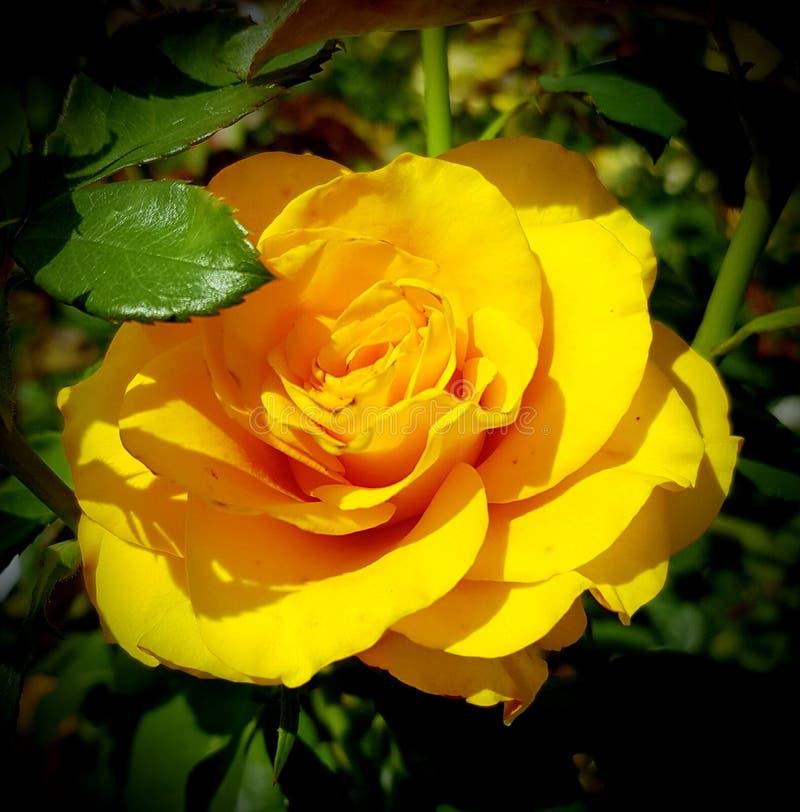 Yellow rose. Park garden flower stock photography