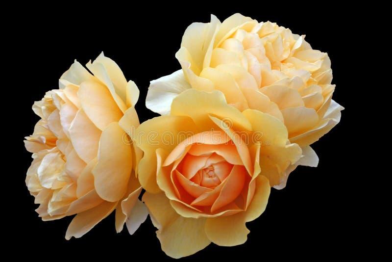 Yellow roses royalty free stock photo
