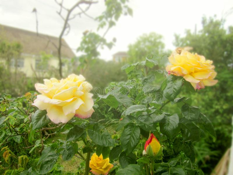 Artistic urban roses and a bud. Artistic focused picture of yellow and pink roses and a rosebud stock images