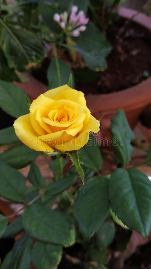 Yellow Rose. S create warm feelings and provide happiness. Giving s can tell someone the joy they bring you and the friendship you share. White roses royalty free stock image