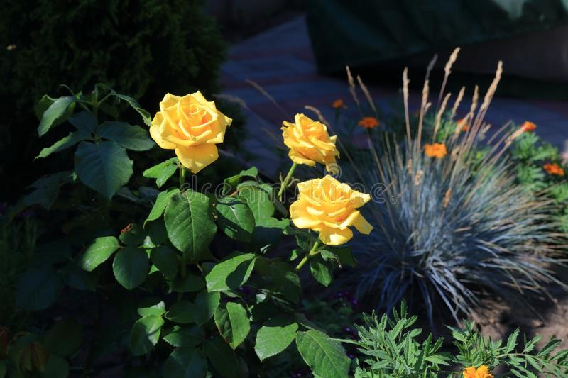 Yellow roses and fescue on one bed. Yellow roses and fescue on one flowerbed in the shade are the flowers of calendula and marigolds royalty free stock photos