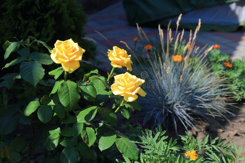 Yellow roses and fescue on one bed. Yellow roses and fescue on one flowerbed in the shade are the flowers of calendula and marigolds stock photography