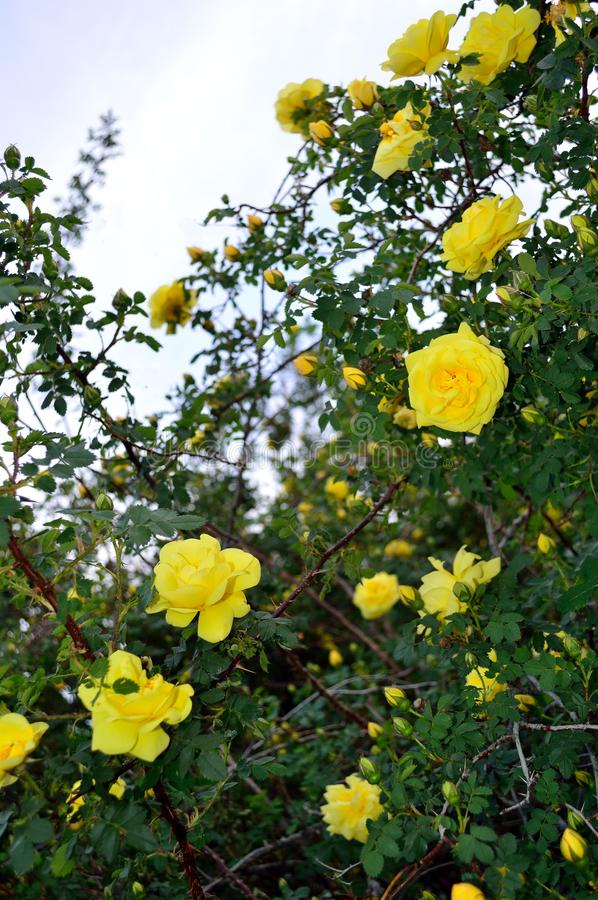 Tall Yellow Floribunda Rose Bush and Sky. Yellow roses, Floribunda, Latin for `many-flowering,` a modern group of garden roses developed by crossing hybrid teas royalty free stock photos