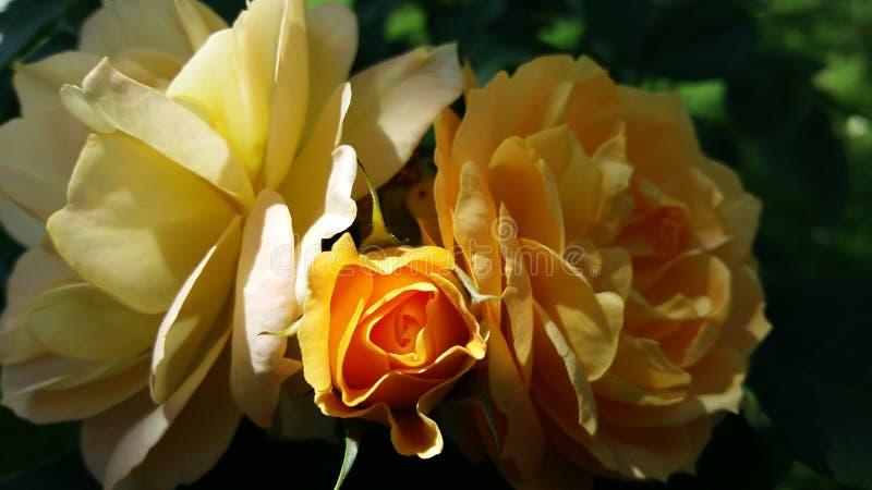 Yellow roses. In the garden stock photos