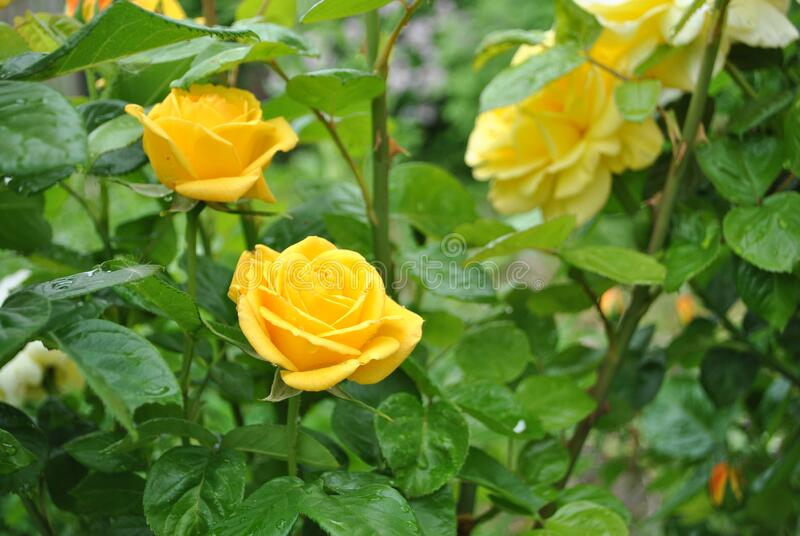 Yellow roses in the garden stock photo