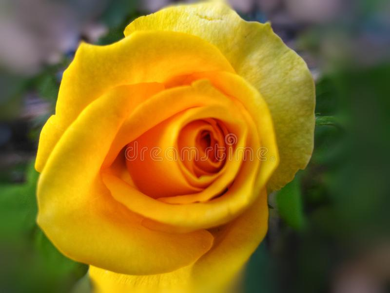 Yellow roses have one of the happiest rose color meanings. royalty free stock images