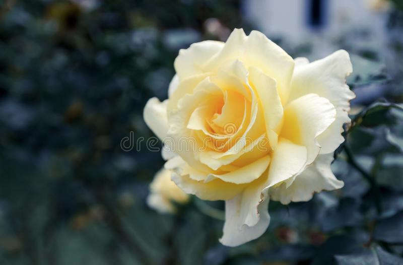 Yellow roses meaning Bright, cheerful and joyful create warm feelings and provide happiness. They bring you and the friendship you. Share the purist of colors royalty free stock photo