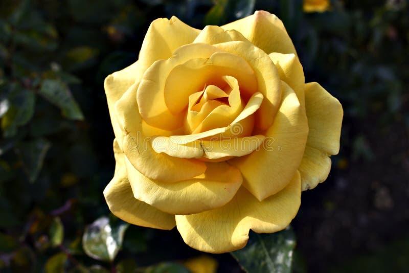 Beautiful Yellow Rose stock photos