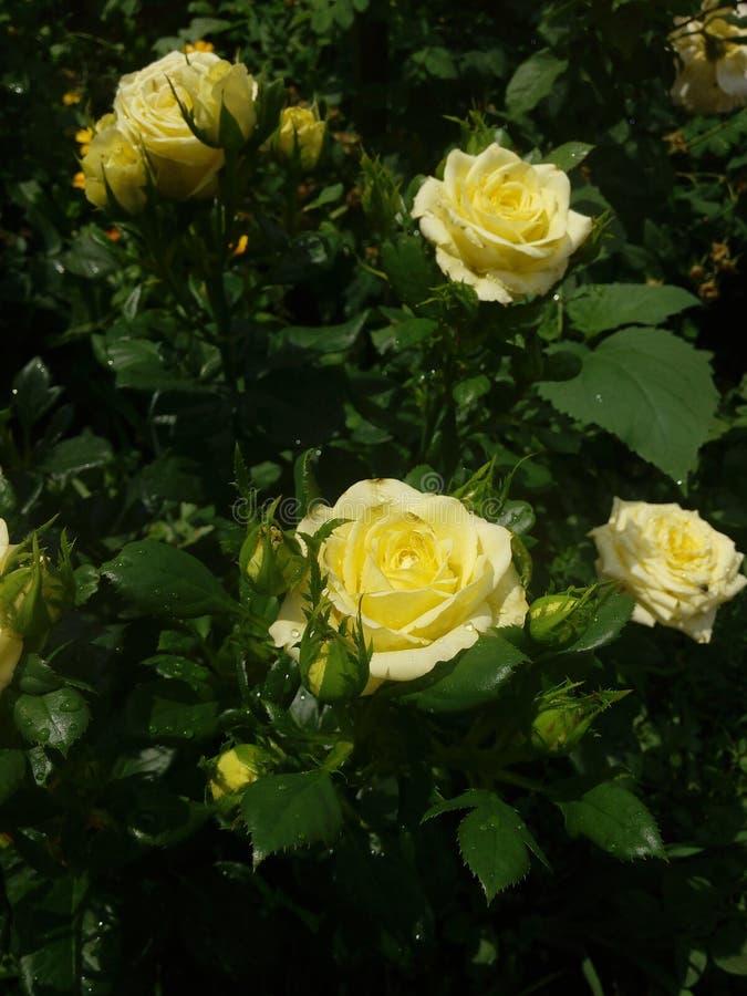 yellow roses stock photo