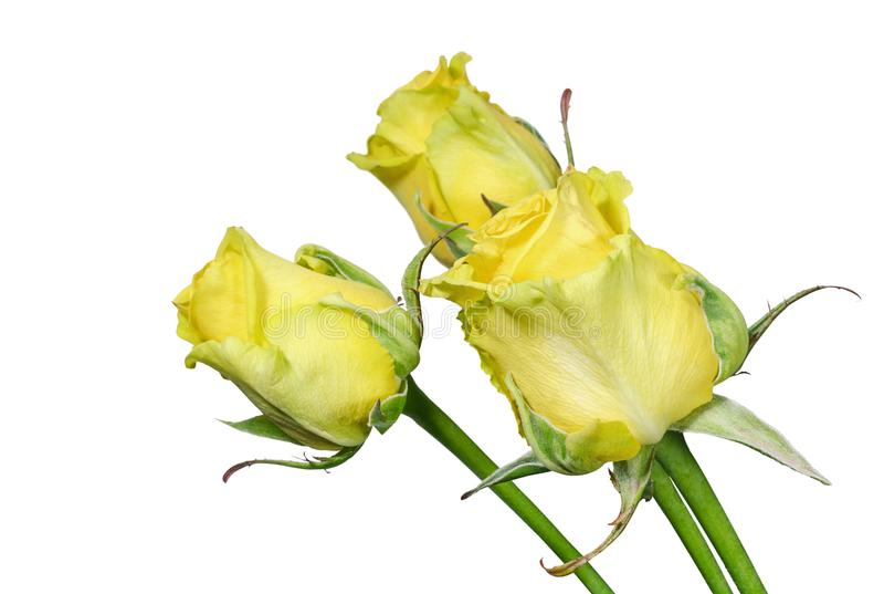 Yellow roses on white background stock photography