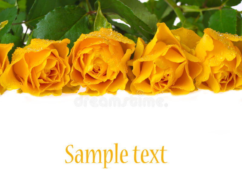 Download Yellow roses stock image. Image of bloom, beauty, gift - 34272351