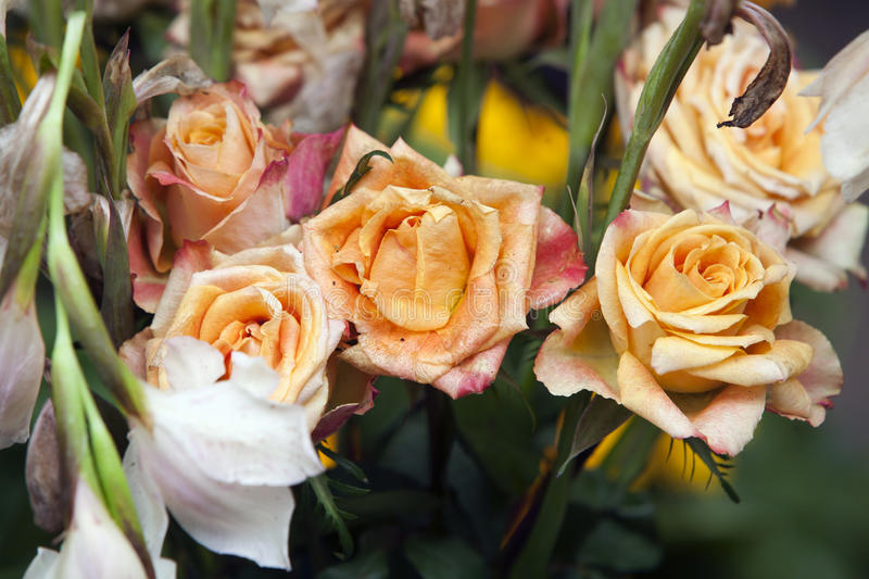 Download Yellow roses wither stock photo. Image of aging, bright - 33667022