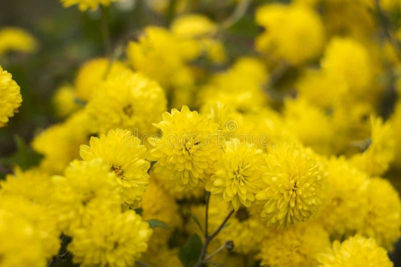 Yellow round chrysanthemum - bright autumn flowers in the garden royalty free stock image