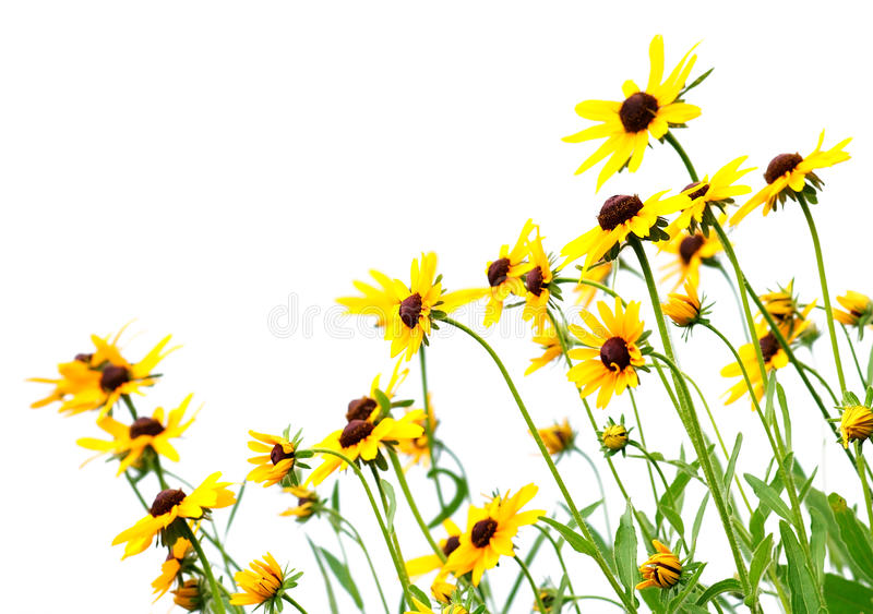 Yellow rudbeckia stock photography