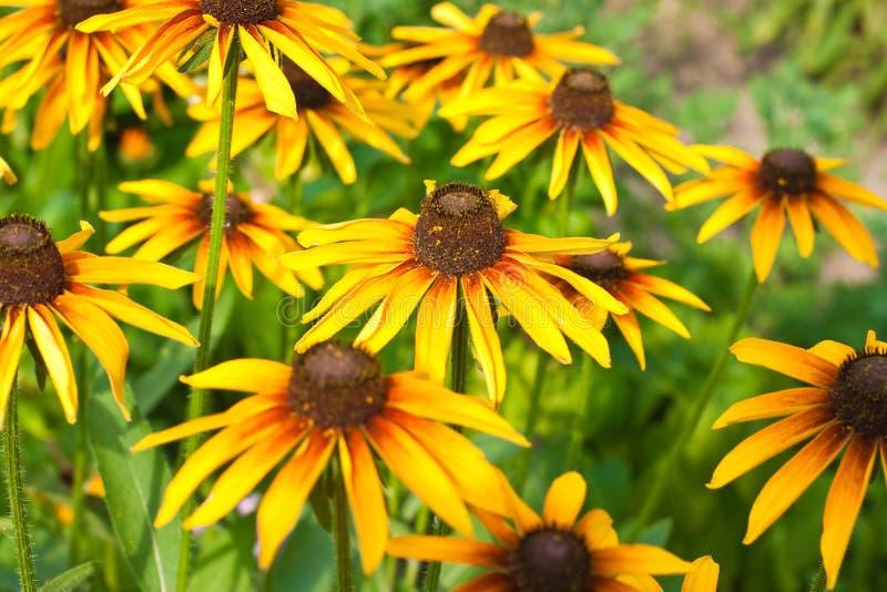 Yellow rudbeckia stock image
