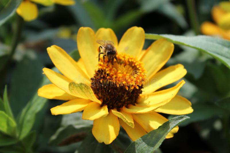Yellow rudbeckia with a bee stock photography