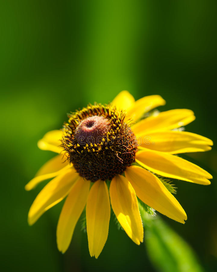 Yellow rudbeckia or black eyed susan wildflower. Vertical closeup image of yellow rudbeckia or Black Eyed Susan wildflower against an out-of-focus green stock images